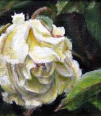 Rosebud Unfolding, White