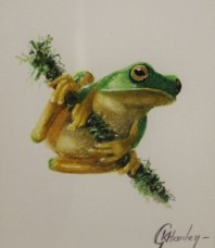 Graceful or Dainty Tree Frog (looking right)