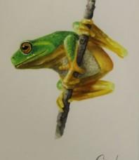 Graceful or Dainty Tree Frog (looking left)