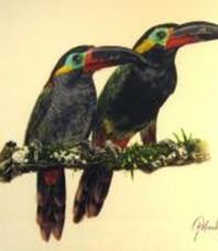 Guianan Toucanets