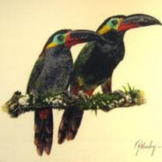 morpeth art gallery, guianan toucan, hunter valley, newcastle, nsw, investment, fine, original, artwork, collector, artist, artists, investment, wildlife, australias only living master, gordon hanley, art renewal centre, watercolour, macaw, toucan, gang gang, rosella, parakeet, coffins cockatoo, green winged macaw, lorikeet, finch, swift parrot, malabar parakeet, alexandrine parakeet, scarlet macaw, chattering lory, scarlet chested parrot, superb blue wren, red tailed racket parrot, cockatiel, masked lovebird, yellow throated hanging parrot, yellow bibbed lorikeet, white fronted amazon, pesquet's parrot, guiankookaburra, wedgetail eagle, prints, published