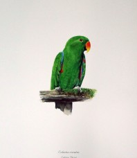 Eclectus Parrot Print by Gordon Hanley