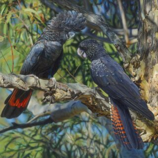 morpeth art gallery, hunter valley, newcastle, nsw, investment art, fine art, original, artwork, collector, afternoon rendezvous, red tailed black cockatoos, investment, artist, giclee, reproduction, print